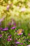 Mariposa y crisantemo salvaje fotografía de archivo libre de regalías
