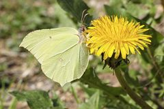 Mariposa y diente de león del azufre Fotos de archivo libres de regalías