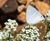Mariposa y flor blancas Foto de archivo libre de regalías