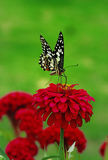 Mariposa y flor roja Imágenes de archivo libres de regalías