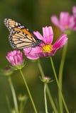 Mariposa y flores de monarca Imagen de archivo