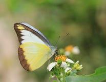 Mariposa y flores florecientes, ele del lyncida de Appias Fotos de archivo