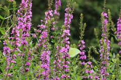 Mariposa y flores púrpuras, salicaria del Lythrum Imágenes de archivo libres de regalías