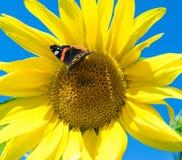 Mariposa y girasol floreciente amarillo brillante Fotografía de archivo libre de regalías