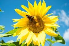 Mariposa y girasol floreciente amarillo brillante Imagen de archivo libre de regalías