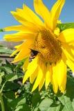 Mariposa y girasol floreciente amarillo brillante Imagenes de archivo