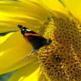Mariposa y girasol floreciente amarillo brillante Foto de archivo