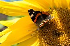 Mariposa y girasol floreciente amarillo brillante Fotos de archivo