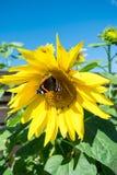 Mariposa y girasol floreciente amarillo brillante Imágenes de archivo libres de regalías