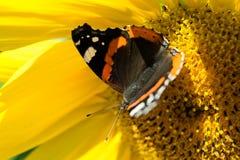 Mariposa y girasol floreciente amarillo brillante Foto de archivo libre de regalías