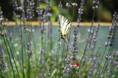 Mariposa y lavanda 1 Imagen de archivo libre de regalías