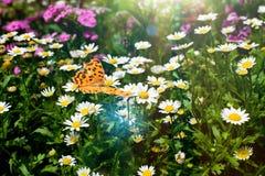 Mariposa y margarita imagen de archivo libre de regalías