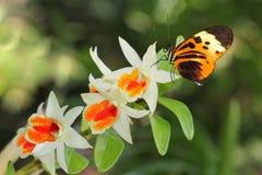 Mariposa y orquídea del cartero Imagen de archivo libre de regalías