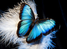 Mariposa y pluma Imagen de archivo libre de regalías