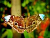Mariposa y su reflexión Fotos de archivo