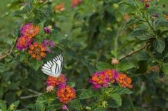 Mariposa y sus flores fotografía de archivo