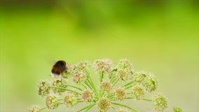 Mariposa y una abeja en una flor almacen de video