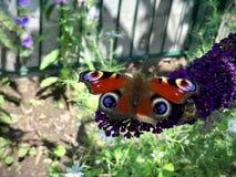 Mariposa y una abeja que se sienta en una flor púrpura Fotos de archivo