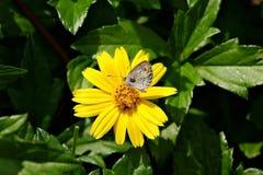 Mariposa y Wedelia Foto de archivo libre de regalías
