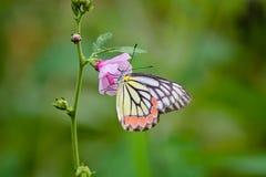 Mariposa y x28; Jezebel& común x29; Fotografía de archivo