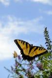 Mariposa y Zinnias Fotos de archivo libres de regalías