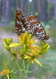 Mariposas Fotos de archivo