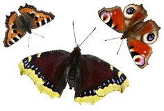 Mariposas aisladas en el fondo blanco Fije la mariposa Imagen de archivo