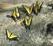 Mariposas amarillas del tigertail imagenes de archivo