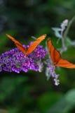 Mariposas anaranjadas Foto de archivo