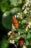 Mariposas anaranjadas de la reina de Gilippus del Danaus Imagen de archivo