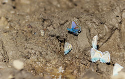 Mariposas azules Imagen de archivo