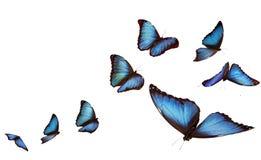 Mariposas azules del morpho Imagenes de archivo