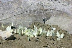 Mariposas blancas Imagenes de archivo