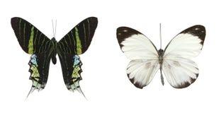 Mariposas coloridas sobre un fondo blanco. imagen de archivo