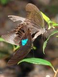 Mariposas de acoplamiento Fotos de archivo