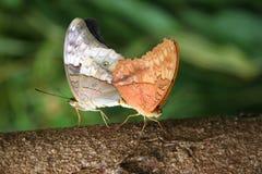 Mariposas de acoplamiento fotografía de archivo libre de regalías
