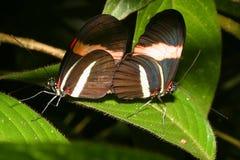Mariposas de acoplamiento imágenes de archivo libres de regalías