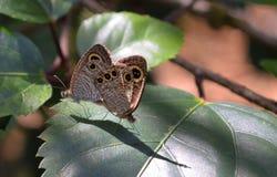 Mariposas de acoplamiento en la hoja Foto de archivo libre de regalías