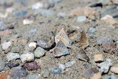Mariposas de Foure en la arena Fotos de archivo