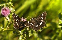 Mariposas de la correspondencia del verano o levana de Araschnia Imagen de archivo libre de regalías