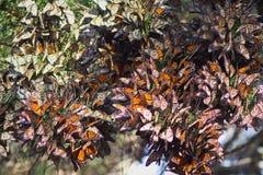 Mariposas de monarcas Imagen de archivo libre de regalías