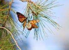 Mariposas de monarcas Fotos de archivo