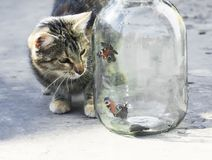 Mariposas de observación del gato rayado divertido que vuelan en un tarro de cristal encendido Fotografía de archivo