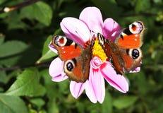 Mariposas de pavo real hermosas que se colocan en una flor Imagenes de archivo