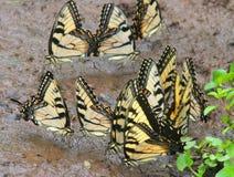 Mariposas de Swallowtail del tigre Imagen de archivo