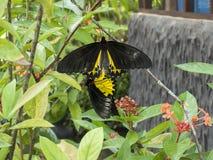 Mariposas del acoplamiento imágenes de archivo libres de regalías