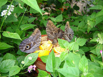 Mariposas del búho Imágenes de archivo libres de regalías