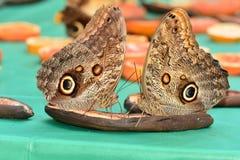 Mariposas del búho que festejan en la comida fría de la mariposa Fotografía de archivo