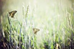 Mariposas del campo de trigo Foto de archivo libre de regalías