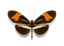 Mariposas del erato de Heliconius Imagen de archivo libre de regalías